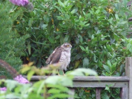 sparrowh2